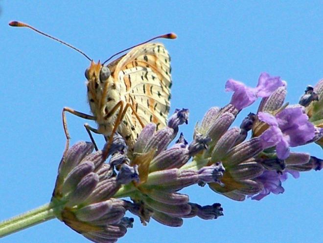 papillon 100_1824