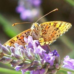 papillon 100_1886