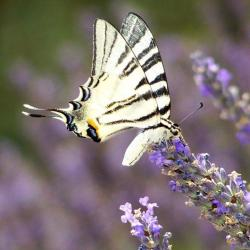 papillon 100_2476