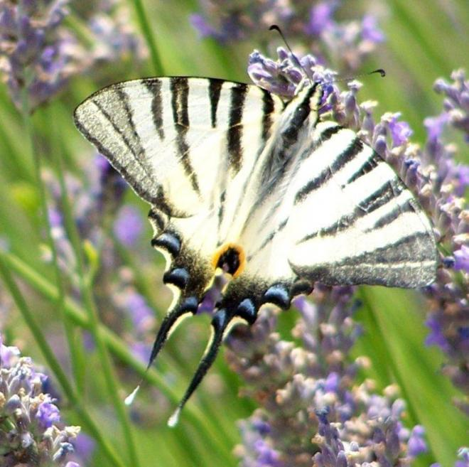 papillon 100_2481