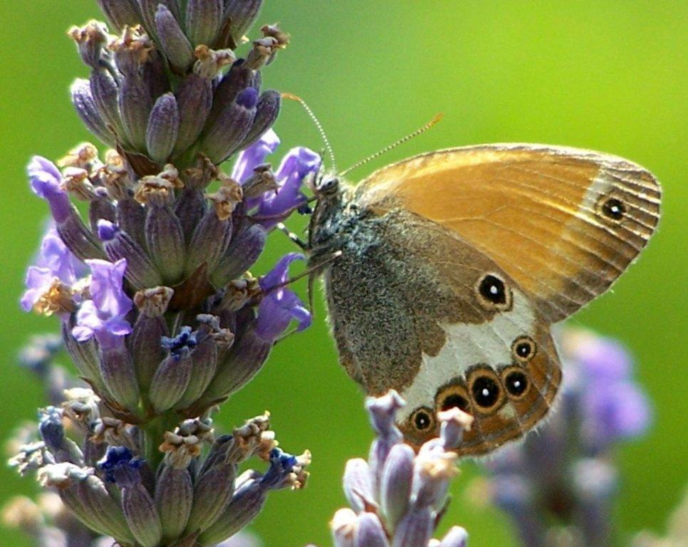 papillon 100_2531