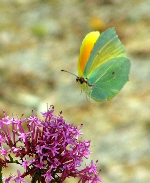 papillon 100_4620