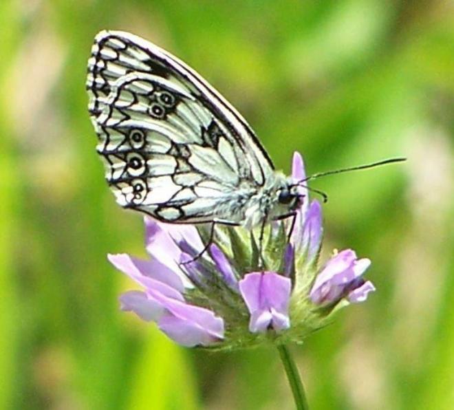 papillon 100_4684