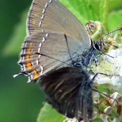 papillon100_4760