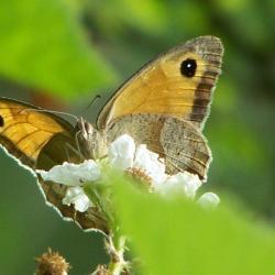 papillon 100_4764
