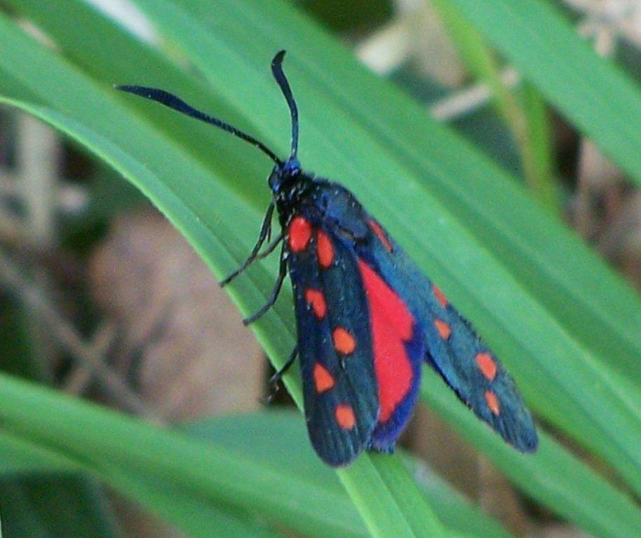 papillon 100_4767
