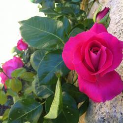 Rose de mai ! tu me plais !