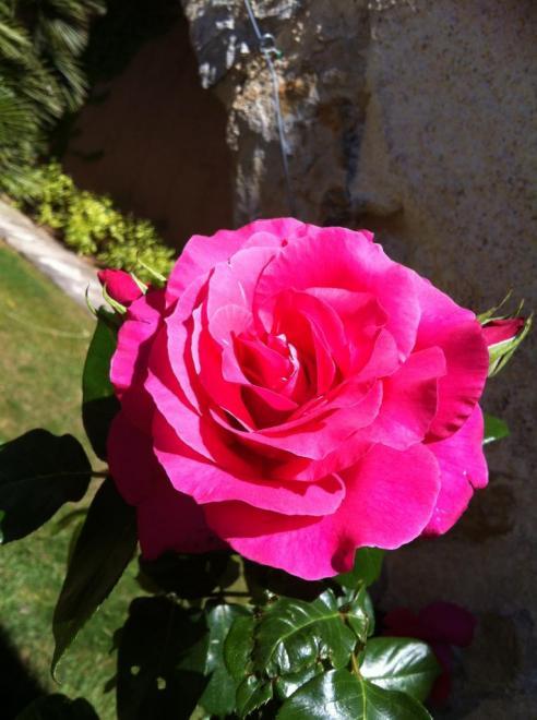 Rose de mai ! toujours tu me plais !