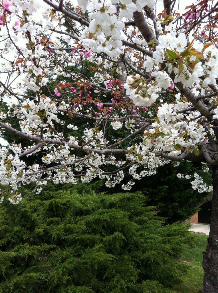 Le 4 avril le cerisier est en fleurs !