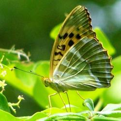 papillon 1050575 (14)