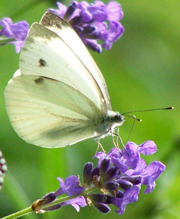 papillon 1050575 (15)