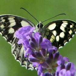 papillon 1050575 (16)