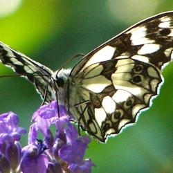 papillon 1050575 (17)