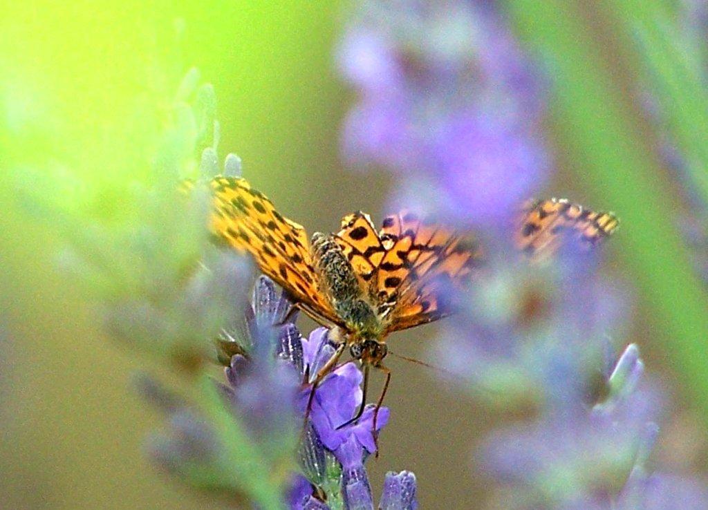 papillon 1050575 (18)