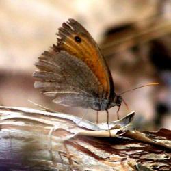 papillon 1050575 (19)
