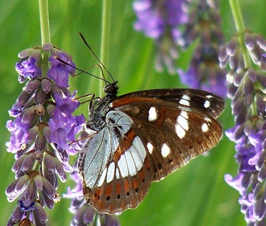 papillon 1050575 (20)