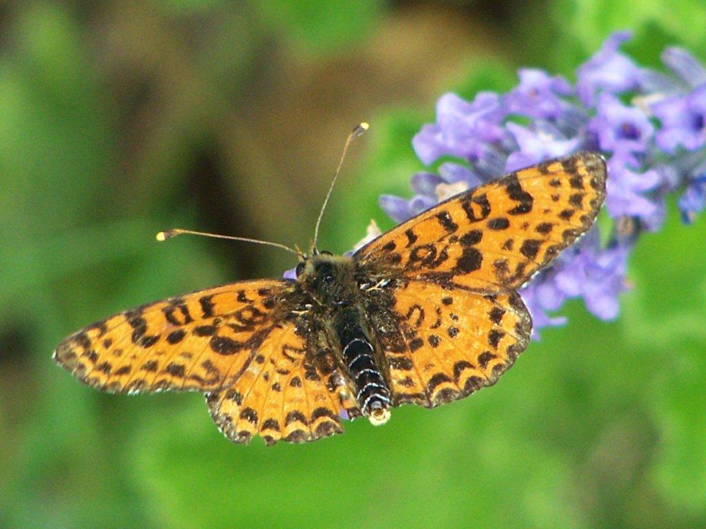 papillon 1050575 (21)