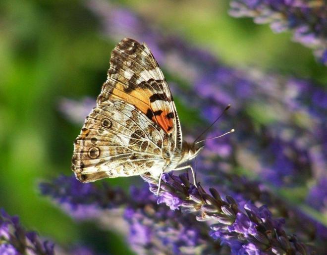 papillon 1050575 (22)