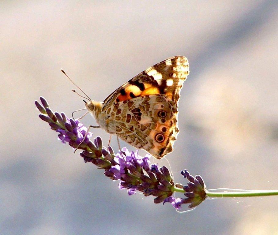 papillon 1050575 (23)