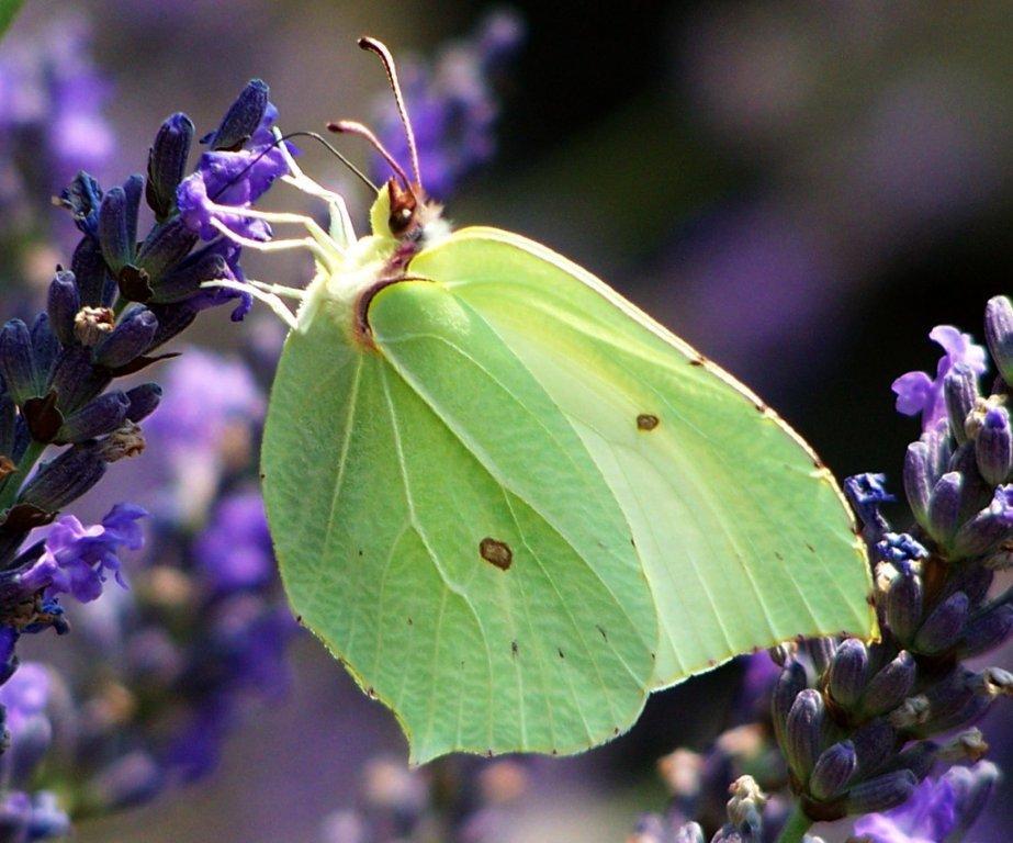 papillon 1050575 (24)