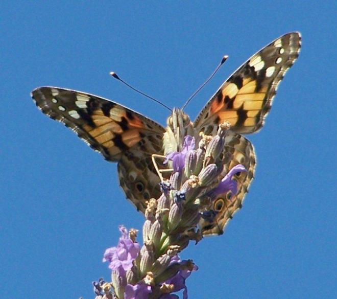papillon 1050575 (25)