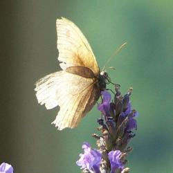papillon 1050575 (26)