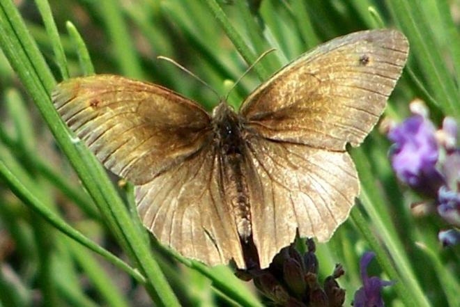 papillon 1050575 (27)