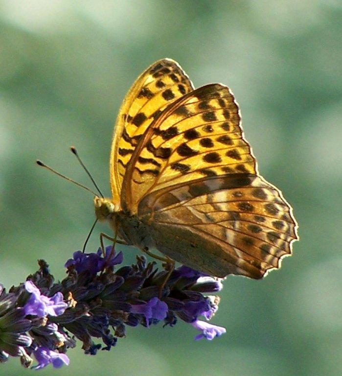 papillon 1050575 (28)