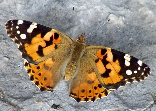 papillon 1050575 (29)