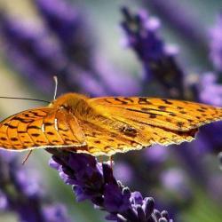papillon 1050575 (30)
