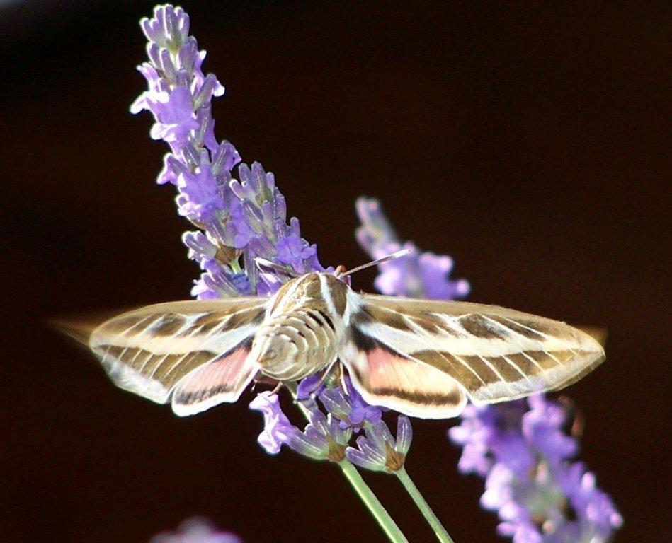 papillon 1050575 (31)