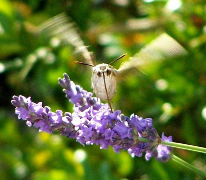 papillon 1050575 (32)