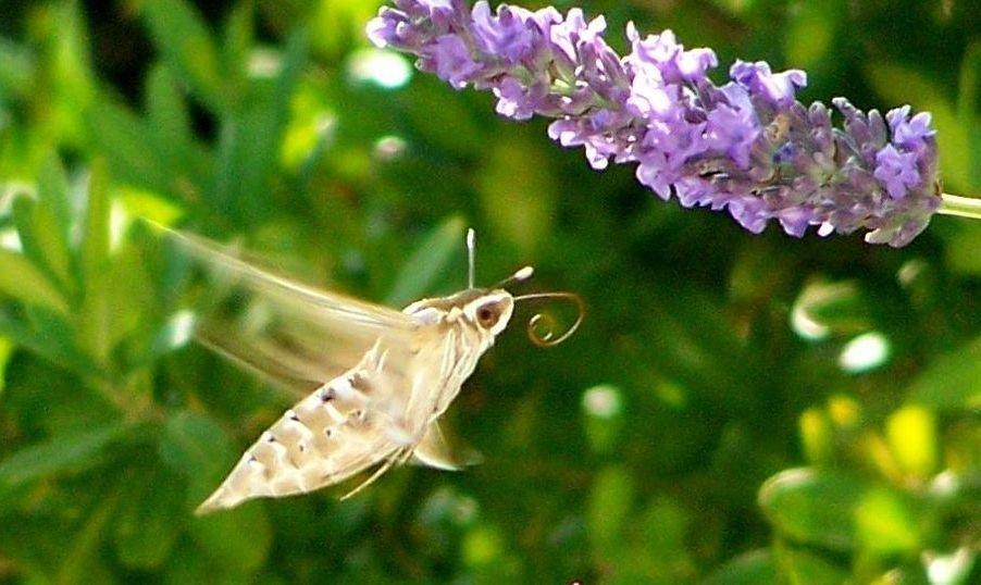 papillon 1050575 (33)