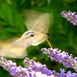 papillon 1050575 (34)