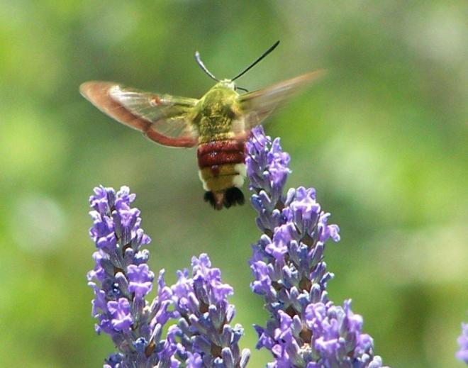 papillon 1050575 (36)