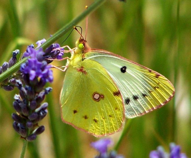 papillon 1050575 (38)