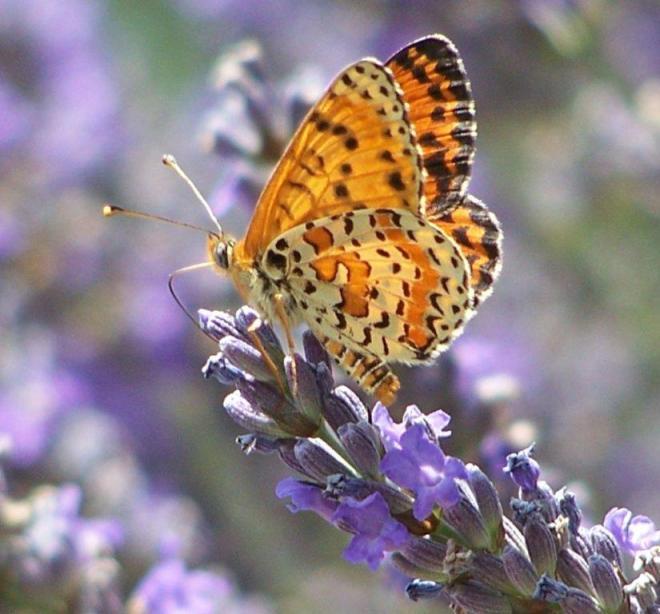 papillon 1050575 (39)