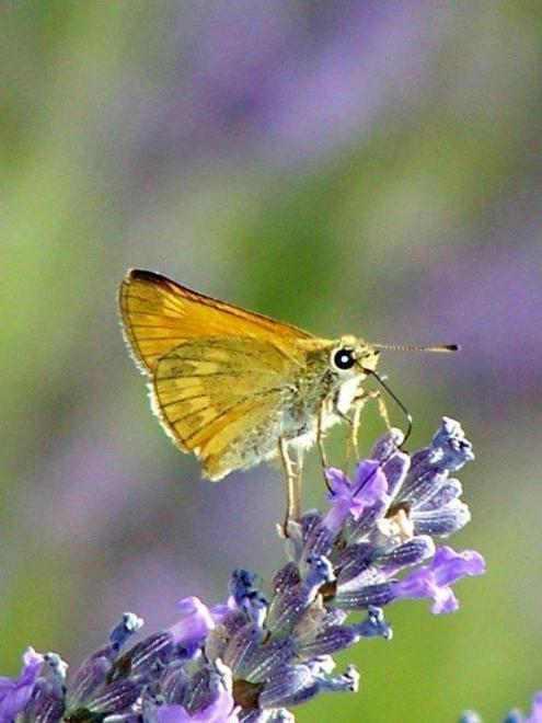 papillon 1050575 (41)