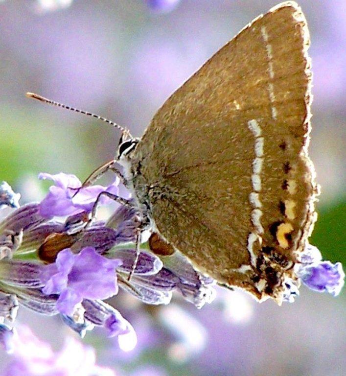 papillon 1050575 (42)