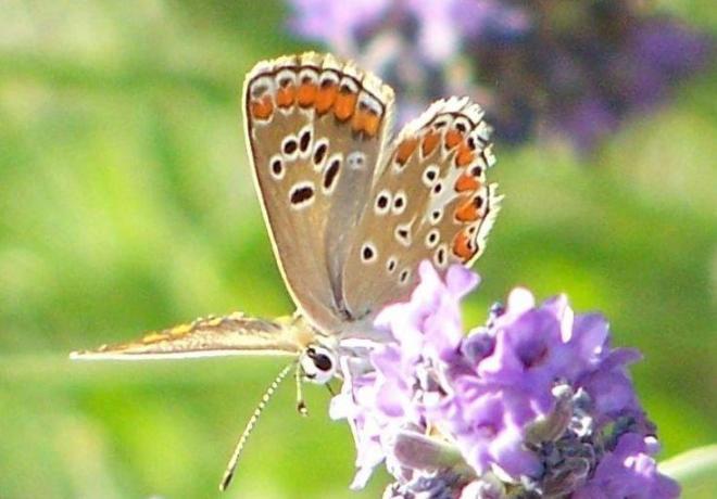 papillon 1050575 (43)