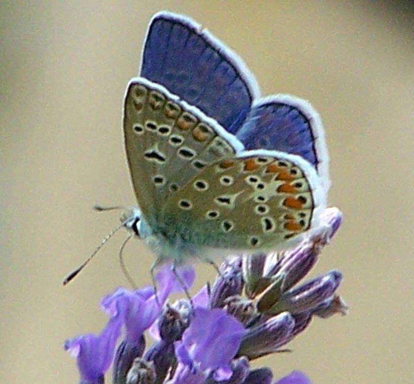 papillon 1050575 (44)