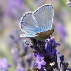 papillon 1050575 (45)