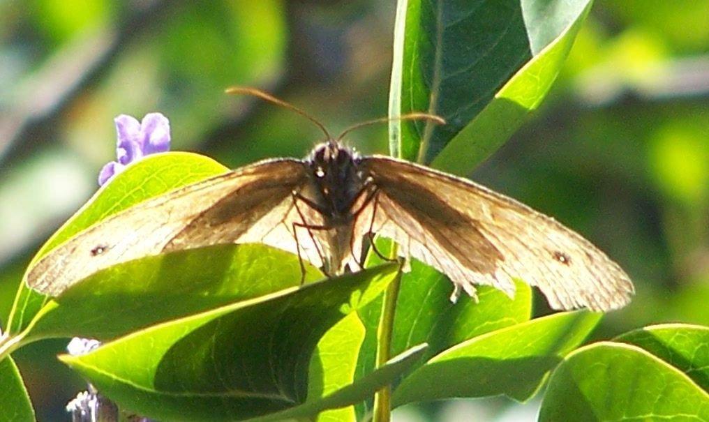 papillon 1050575 (46)