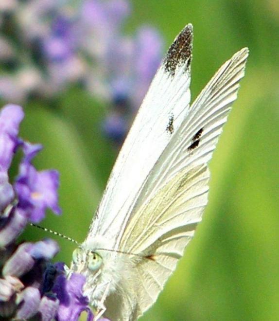 papillon 1050575 (47)