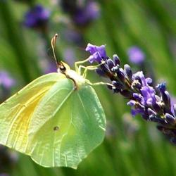 papillon 1050575 (48)