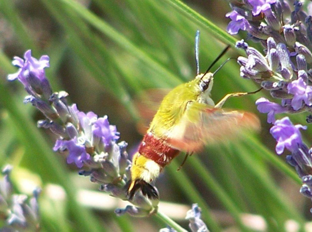 papillon 1050575 (49)