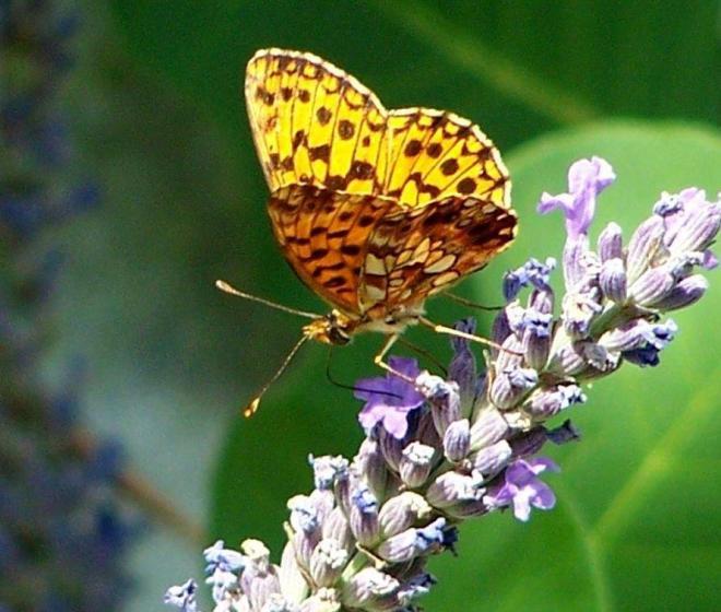papillon 1050575 (50)