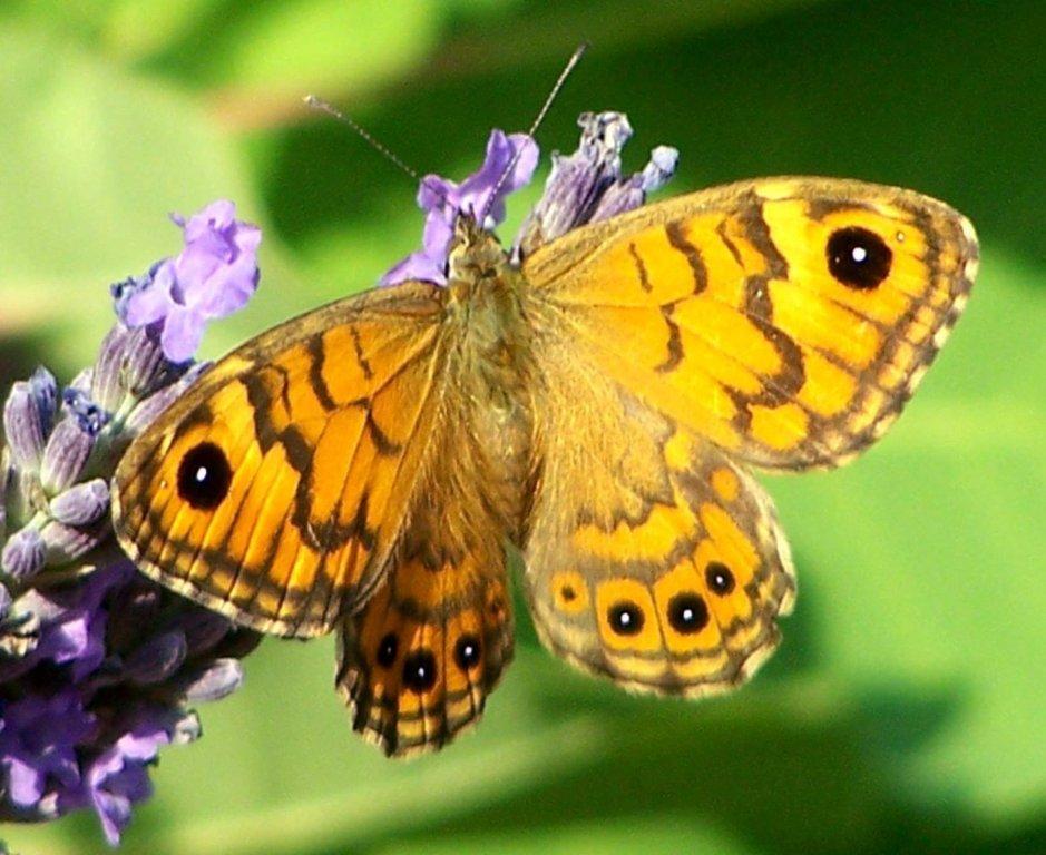 papillon 1050575 (51)
