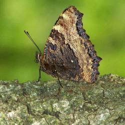 papillon 1050575 (52)