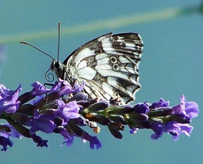 papillon 1050575 (54)
